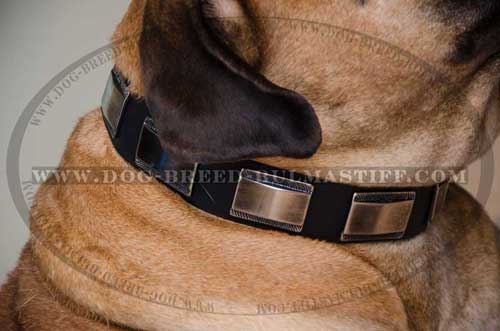 Dog collar designed for Bullmastiff