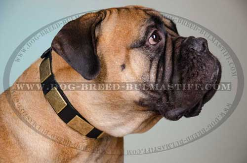 Good-lookig Bullmastiff Dog Collar
