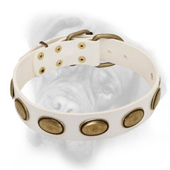 Royal white Bullmastiff collar with chic brass ovals