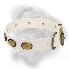 Leather white Bullmastiff collar with nickel fittings