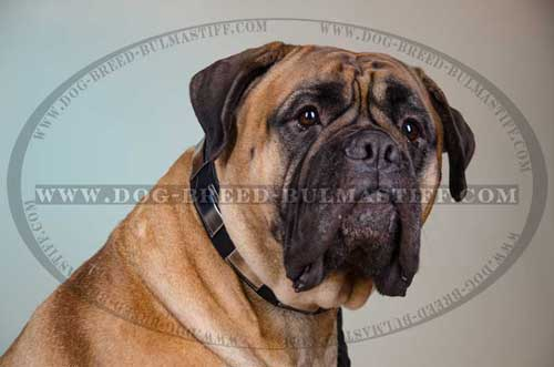 Decorated Bullmastiff Dog Collar