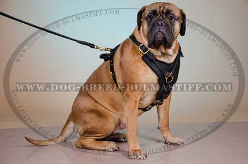 Marvelous Bullmasiff breed Harness made of pure leather