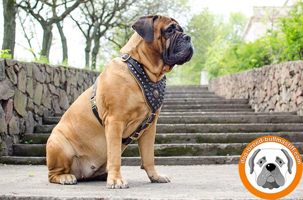 Dainty Leather Bullmastiff Harness with Adjustable Straps