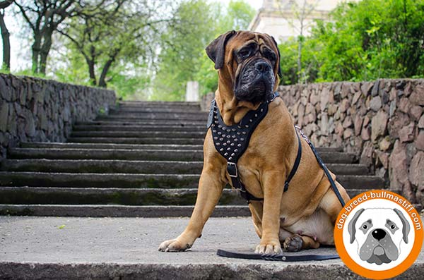 Walking Leather Bullmastiff Harness with Spikes
