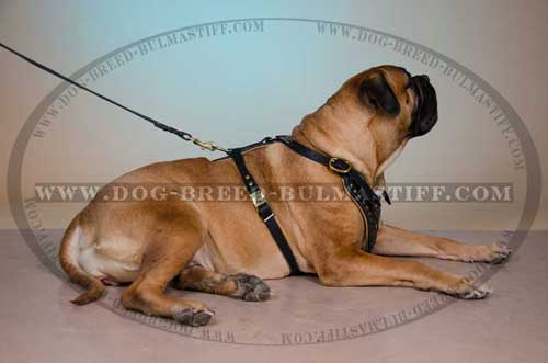 Beautiful Bullmastiff wearing our Dog Harness