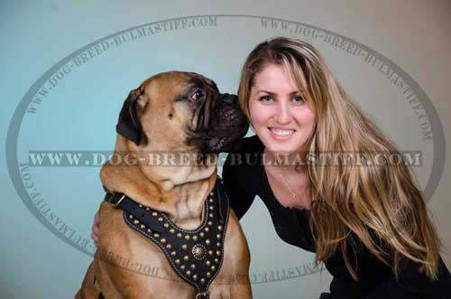 Dog Harness on Bullmastiff