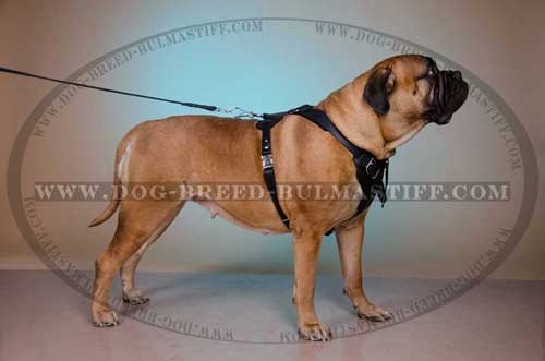 Leather Bullmastiff dog harness