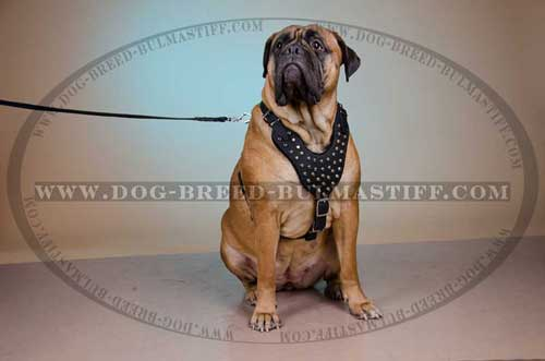 Leather Dog Harness for Bullmastiff