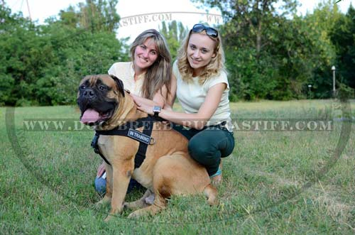 Water-resistant dog harness for Bullmastiff breed