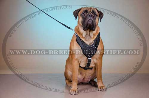 Leather dog harness made of leather for your Bullmastiff
