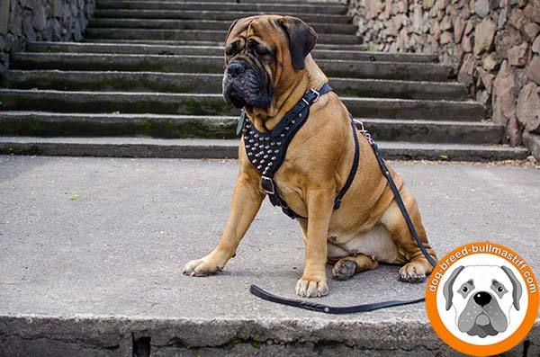 Bullmastiff black leather harness with duly riveted spikes for daily walks