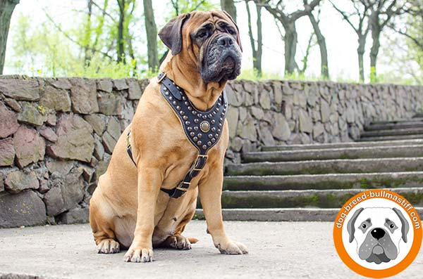 Royal Style  Studded Leather Bullmastiff Harness