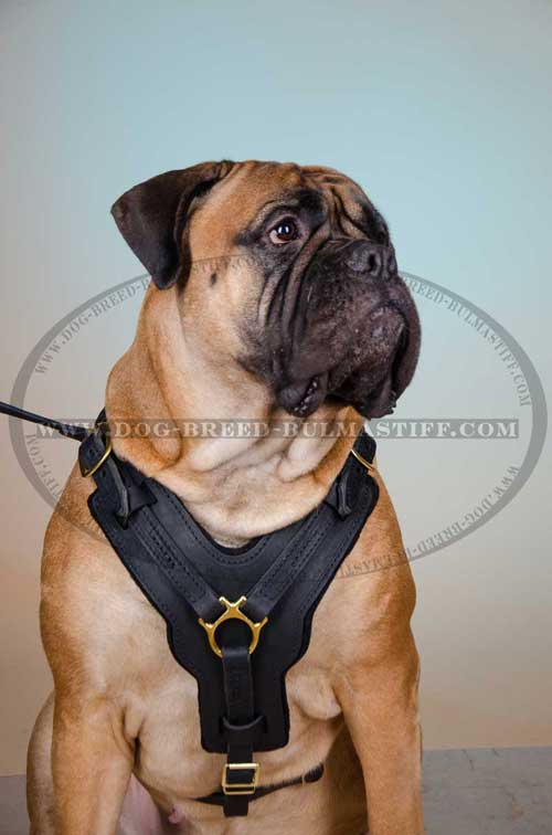 Bullmasiff Harness made of leather with Y-shaped chest plate