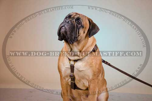Leather training Harness for your Bullmastiff
