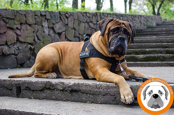 Extremely Comfortable Bullmastiff Harness of Strong Nylon