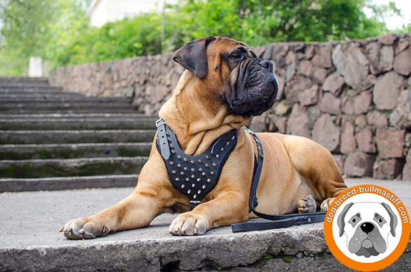 Adjustable Leather Harness for Bullmastiff Comfortable Walks