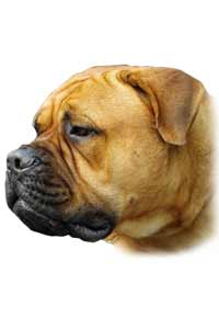 Aricles about your Bullmastiff