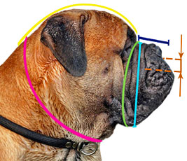 how to measure bullmastiff