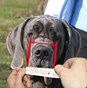 Make sure you measure your Bullmastiff correctly