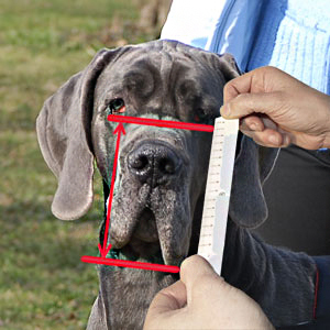 Make measurements of your Bullmastiff attentively
