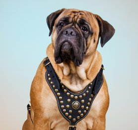 What You Need to Know about Bullmastiff